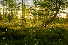 A beautiful bog landscape with cottongrass in sunset with a sun flare stock photo