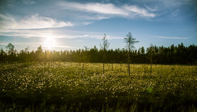 A beautiful bog landscape with cottongrass in sunset with a sun flare Royalty Free Stock Photos