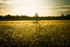 A beautiful bog landscape with cottongrass in sunset with a sun flare Royalty Free Stock Photography