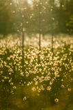 A beautiful bog landscape with cottongrass in sunset with a sun flare Stock Image