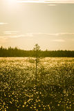A beautiful bog landscape with cottongrass in sunset with a sun flare Royalty Free Stock Images