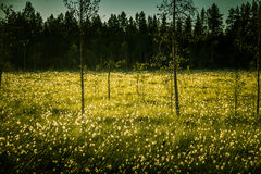 A beautiful bog landscape with cottongrass in sunset with a sun flare Stock Photography