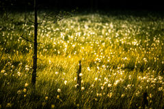 A beautiful bog landscape with cottongrass in sunset with a sun flare. A dreamy look Stock Photography