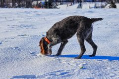 A beautiful bohemian wire dog is searching some pats or smell. She is brown and grey colored dog with athletic figure.  royalty free stock photography