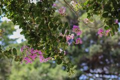 Beautiful bokeh background with crepe myrtle in foreground and blurred trees and sky behind.  stock photography