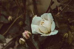 White rose. Beautiful white and a little pinkish colored rose royalty free stock photography