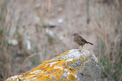 bird pipit meadows alone in daylight close-up on a rock profile stock photography