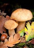 Beautiful Boletus Edulis specimens Royalty Free Stock Photos