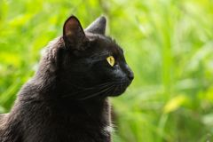 Beautiful bombay black cat portrait, face in profile with yellow eyes close up in nature, copy space. Spring, summer royalty free stock images