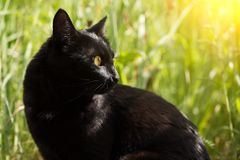 Beautiful bombay black cat portrait in profile in nature in sunlight. Beautiful bombay black cat in profile in green grass in nature in summer, copy space stock image