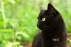 Beautiful bombay black cat portrait in profile with yellow eyes close up, copy space. Beautiful bombay black cat portrait in profile with yellow eyes close up royalty free stock photo