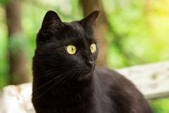 Beautiful bombay black cat portrait in profile with yellow eyes, copy space. Beautiful bombay black cat portrait in profile with yellow eyes and attentive look royalty free stock image