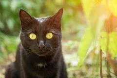 Beautiful bombay black cat portrait with yellow eyes and attentive look. Outdoors in green grass in sunlight stock photo