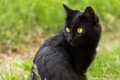 Beautiful bombay black cat portrait with yellow eyes and attentive look in green grass in nature.  royalty free stock image
