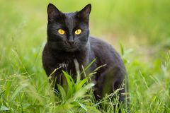 Beautiful bombay black cat portrait with yellow eyes and attentive look in green grass in nature Royalty Free Stock Photo