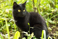 Beautiful bombay black cat portrait with yellow eyes and attentive look in green grass in nature. Ð¡at is looking in the right stock photo
