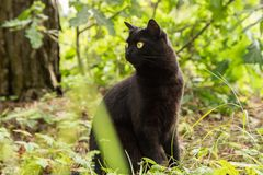 Beautiful bombay black cat portrait with yellow eyes and attentive look in green grass in nature. In garden royalty free stock image