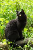 Beautiful bombay black cat portrait with yellow eyes and attentive look in green grass in nature. Bombay black cat in profile with attentive look sits in green stock image