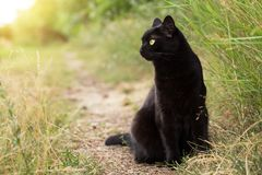 Bombay black cat in profile in green grass in nature in summer, copy space. Beautiful bombay black cat in profile in green grass in nature in summer, copy space royalty free stock photos