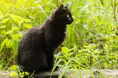 Beautiful bombay black cat in profile with yellow eyes and attentive look in green grass in nature. Spring, summer.  stock photo
