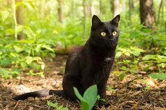Beautiful bombay black cat with yellow eyes and attentive look in green grass in forest nature. Beautiful cute bombay black cat portrait with yellow eyes and stock photos