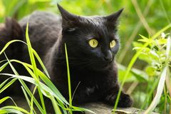 Beautiful bombay black cat with yellow eyes and attentive look lies in green grass in nature. Spring, summer stock images