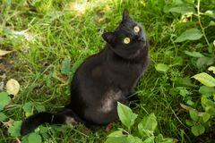 Beautiful bombay black cat cat with yellow eyes and attentive look looks up. In green grass in nature stock photo
