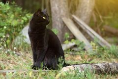 Beautiful bombay black cat in profile with yellow eyes and attentive look in green grass in nature. Beautiful bombay black cat with yellow eyes and attentive royalty free stock photos