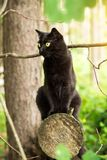 Beautiful bombay black cat with yellow eyes and attentive look sits on a log in spring, summer forest. Outdoor, nature. Beautiful bombay black cat with yellow stock photography