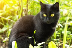 Beautiful bombay black cat with yellow eyes close-up in green grass in nature in sunlight. Spring, summer stock image