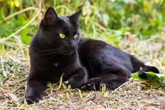 Beautiful bombay black cat with yellow eyes lies outdoors in nature. Green grass background royalty free stock photos