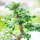 Bonsai in a botanical garden Royalty Free Stock Photo