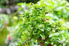 Bonsai in a botanical garden Royalty Free Stock Images