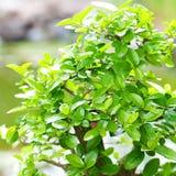 Bonsai in a botanical garden Royalty Free Stock Photos