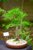 Beautiful bonsai Royalty Free Stock Image