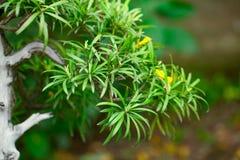 Beautiful bonsai Royalty Free Stock Photos