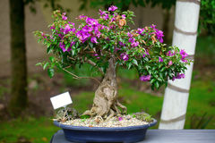 Beautiful bonsai bougainvillea Royalty Free Stock Images