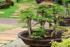 Beautiful bonsai tree in the garden Stock Images