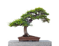 Beautiful bonsai tree isolated on white. Background Royalty Free Stock Photos