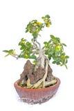 Beautiful bonsai tree isolated on white background Stock Image