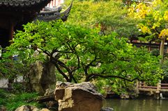 Beautiful bonsai tree in the Old City God`s Temple and Yuyuan Garden, Shanghai Stock Image