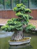 Beautiful bonsai tree Stock Photo