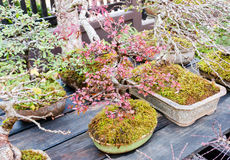 Beautiful bonsai trees in flower pots Stock Photos