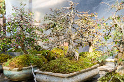 Beautiful bonsai trees in flower pots Royalty Free Stock Images