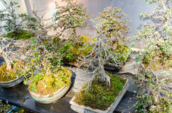 Beautiful bonsai trees in flower pots Stock Photography