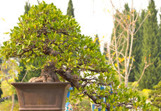 Bonsai trees. Is beautiful bonsai trees in pot Royalty Free Stock Photo