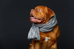 Beautiful bordeaux dogue dog in scarf stock photography