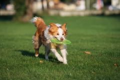 Beautiful border collie dog playing outdoors. Border collie breed dog outdoors in summer royalty free stock photography