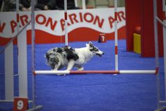 Young Border Collie dog running between obstacles in an agility contest royalty free stock image