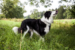 Beautiful Border Collie Stock Photo
